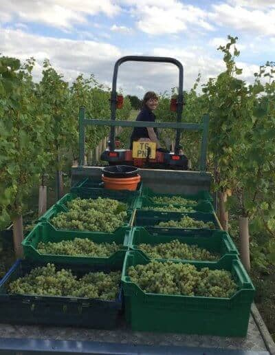 jane moore trailer full of white grapes